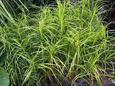 Carex muskingumensis (Palm sedge) bare root bog/pond plant.