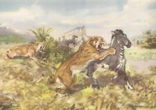 Prehistoric Saber Toothed  MACHAIRODUS Color Print By Z Burian 1963 VF 9x13""