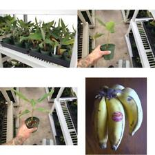Apple Banana Plant Rare Live Manzano Tree Fruit Garden Outdoor Best Gift NEW