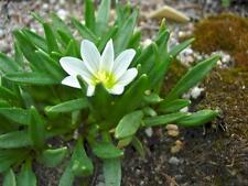 Lewisia nevadensis 50 seeds