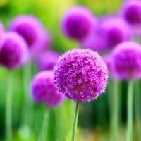 10 x Lila Riesen Allium Giganteum·Blumensamen Gartenpflanze Schöne Heiß