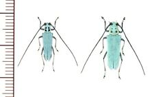 Cerambycidae:Pareutetrapha magnifica pair A1, unmounted,Japan,beetle