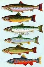 Vintage Chart of Salmon Fish Fishing Quilting Fabric Block 7x10
