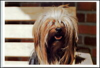 Neue Motiv-Postkarte Thema Hunde Dogs Dog schöner Hund Tier Yorkshire