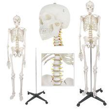 Life Size Human Body Anatomical Anatomy Skeleton Medical School Model + Stand