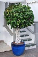 Die  Birkenfeige kann eine tolle große Kübelpflanze werden - immergrün Zierbaum.