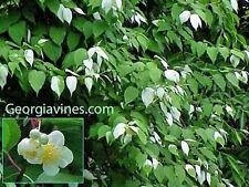 Actinidia polygama Silver Vine VERY RARE 10 seeds