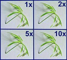 *WASSERPALME* Zyperngras / Papyrus / Cyperus alternifolius / Zimmerpflanze Palme