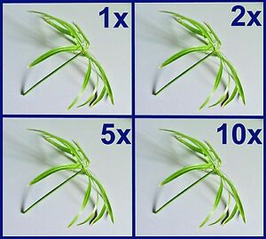 WATER PALM Cypress glass / Papyrus / Cyperus alternifolius / House plant Palms