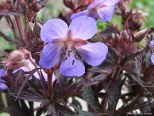 Pack of 12 'Dark Reiter' Geranium Pratense Hardy Cranesbill Seeds