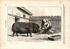 Cassell'S Mammals - Prince Albert'S Essex Boar - 150 Years Old Wood Engraving