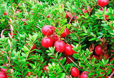Cranberry (Oxycoccus palustris) 100 seeds