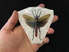 Insecte Collection Orthoptera sp Entomologie vert étalée!!