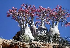 10 Mixed DESERT ROSE / ADENIUM Obesum African Houseplant Flower Seeds *Comb S/H
