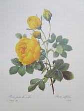 P.J. Redoute 128  Rose Jaune de soufre vintage print