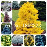Climbing Spruce Bonsai 50 Pcs Seeds Picea Tree Potted Courtyard Garden Pine NEW