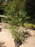 PITTOSPORUM SUNBURST 2mt high in 330mm pot Tree Plant Hedge Screen