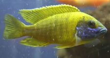 (1)Sunshine Peacock 1.25 inch Aulonocara African Cichlid GUARANTEED