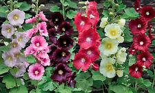 Hollyhock Flower Seeds - Spring Mix - Classic - Bulk