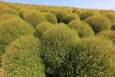 25 graines de Faux - Cyprès (Kochia Trichophylla)G403 SEEDS SAMEN SEMILLA SEMI