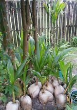 4x Sprouted Coconut palms.  (organic tree plants landscape nursery fruit garden)
