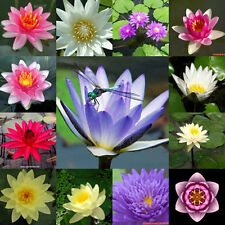 +Fertilizer For All of Lotus & Water Lily Tablets  natural  for lotus 9-23-20