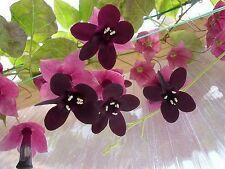 "Rhodochiton atrosanguineus ""Purple Bell Vine"" x 10 seeds Rare Mexican Flower."