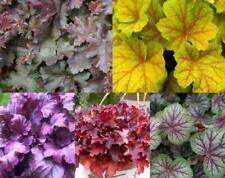 Pack x6 Heuchera 'Mixed Varieties' Perennial Garden Plug Plants
