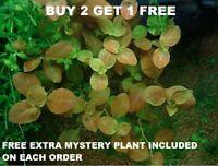 Ludwigia Ovalis Live Aquarium Plants Bunch plantedtank aquarium BUY2GET1FREE