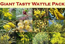 18 X TASTY EDIBLE ACACIA/WATTLE GIANT PACK,NATIVE,FLOUR,BUSH TUCKER,FRUIT TREE