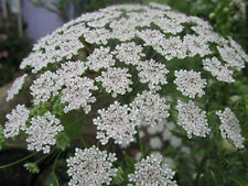 Ammi Large Bullwort Laceflower SEEDS Lace White Bishops Flower False Queen NEW