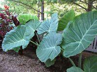 LIVE BULBS Colocasia gigantea Thailand Giant Thai Giant Elephant Ear Huge Leaf