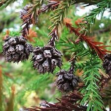 Japanese Red Cedar Tree Seeds (Cryptomeria japonica) 50+Seeds
