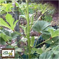 Green Okra 50+Seeds Clemson Spineless Organic Seeds- High Yielding Variety -