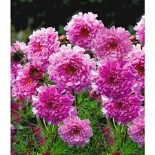 40+ COSMOS DOUBLE CLICK ROSE FLOWER SEEDS  / LONG LASTING ANNUAL