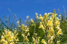 Echtes Leinkraut Linaria vulgaris Heilpflanze 100 Samen VERSAND FREI !!!