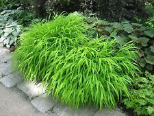 1 x Festuca Gautieri ornamentali erba//erba//piante perenni Orsi pelliccia erba € 3,99 PRO ST