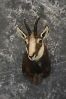 SKU 1573 Chamois Taxidermy Shoulder Mount Perfectly Symmetrical