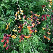 Chilean Glory Vine- 50 Seeds