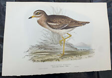 John Gould THICK KNEED BUSTARD Birds Of Europe. Lithograph 1832-37