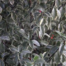 Pittosporum Tenuifolium Silver Queen Evergreen Shrub 3 Litre