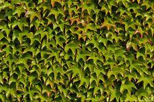 594030 Virginia Creeper A4 Foto Textura impresión