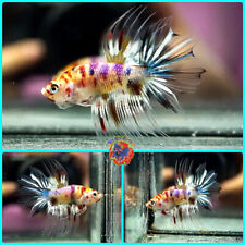 New listing Live Betta Fish Male Juvenile Hybrid Fancy 6-Color Candy Koi Crowntail #E171