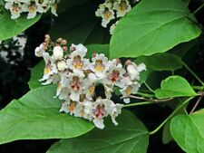 Cigartree - Southern Catalpa - Catalpa bignonioides - 100+ seeds!