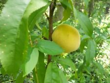 Rare Self fertile White Peach 3 seeds -White Georgia Peaches-BUY 2 GET 1 FREE