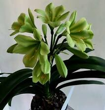 3 X ( PAR YELLOW HIRAO X GREEN IMPAC) x PURE KOKIE GREEN CLIVIA SEEDS (No4)