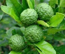 10 Thai Kaffir Lime Seeds, Organic, Fresh,Grow your own leaves, CITRUS HYSTRIX