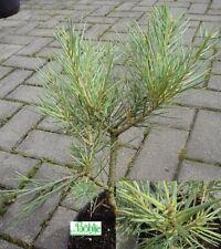 Pinus monophylla - Einnadelige Nusskiefer - Kalifornische Kiefer -