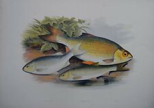 "Fish - Azurine & Dobule & Rudd For Houghton'S ""Fresh Water Fishes"", 1879"