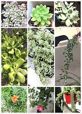 Succulent Cuttings 20 X All Different Succulents Freshly Cut